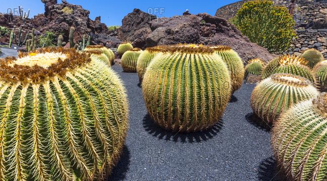 Golden Barrel Cactus, Echinocactus grusonii