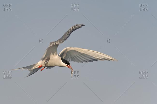 Flying tern, Sternidae, with prey