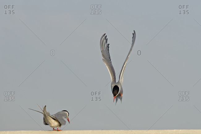 Two terns, Sternidae, one flying
