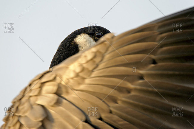 Part of head and wing of canada goose, Branta canadensis