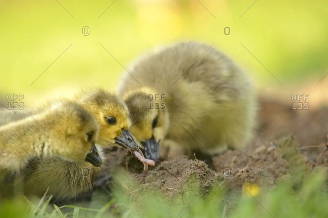 Three foraging baby canada gooses, Branta canadensis