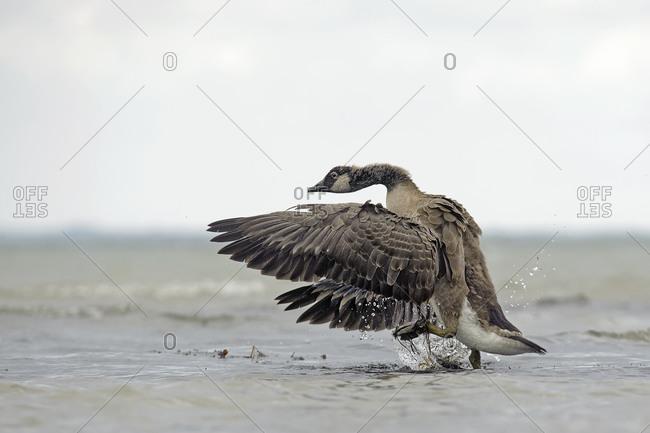 Canada goose, Branta canadensis, flying off