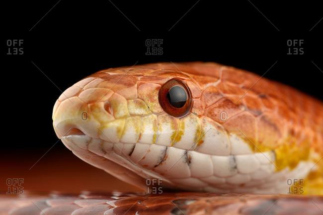 Head of corn snake, Pantherophis guttatus