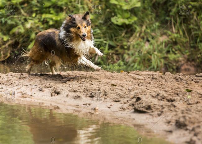 Shetland Sheepdog running at a pond
