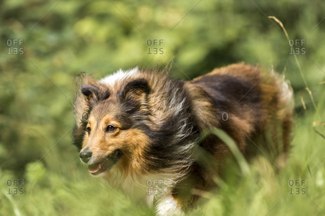 Shetland Sheepdog running on meadow