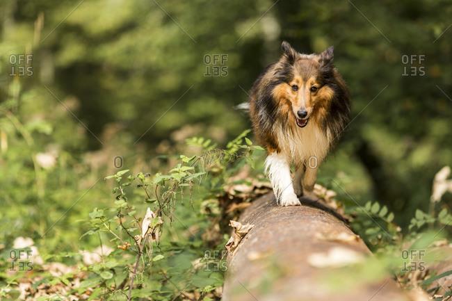 Shetland Sheepdog walking over tree trunk