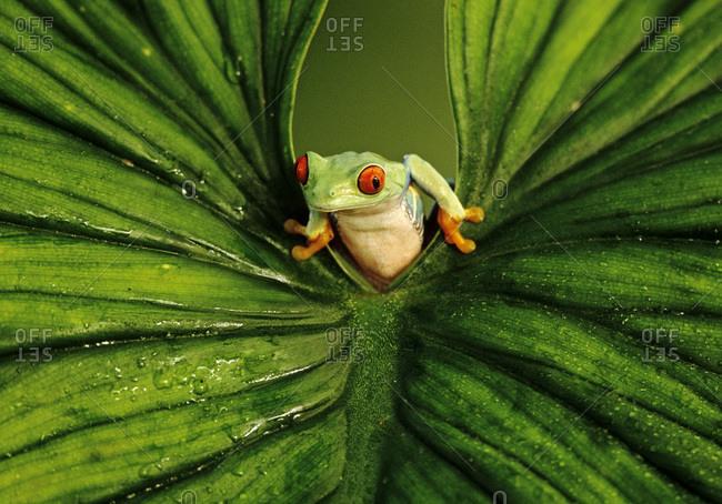 Red-eyed Tree Frog peers through a leaf