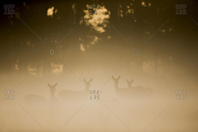 Silhouettes of stags at sunrise in a forest