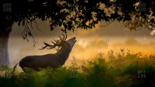 Stag bellowing in a forest