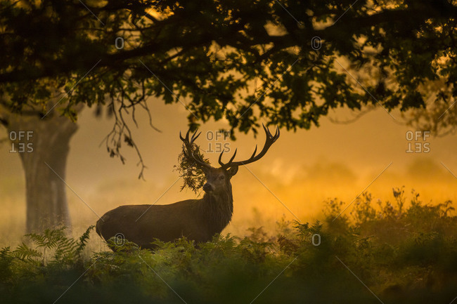 Portrait of a stag at sunrise