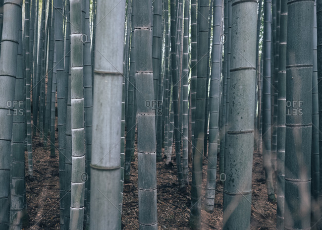 Bamboo trees grow straight in a forest