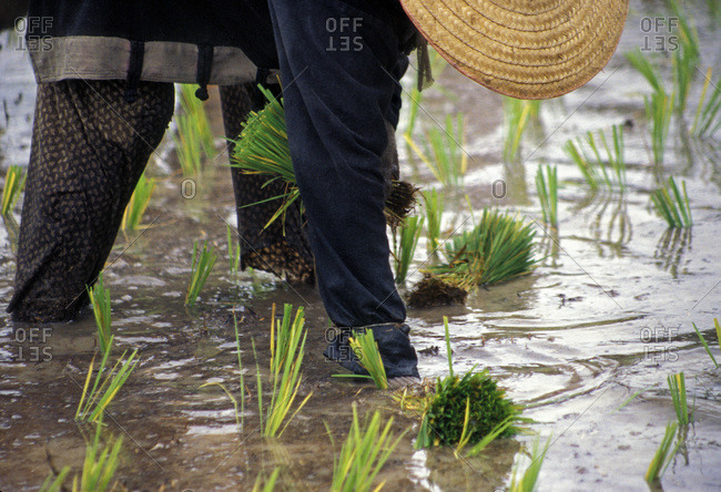Woman planting rice in a flooded rice field in Chiang Mai, Thailand