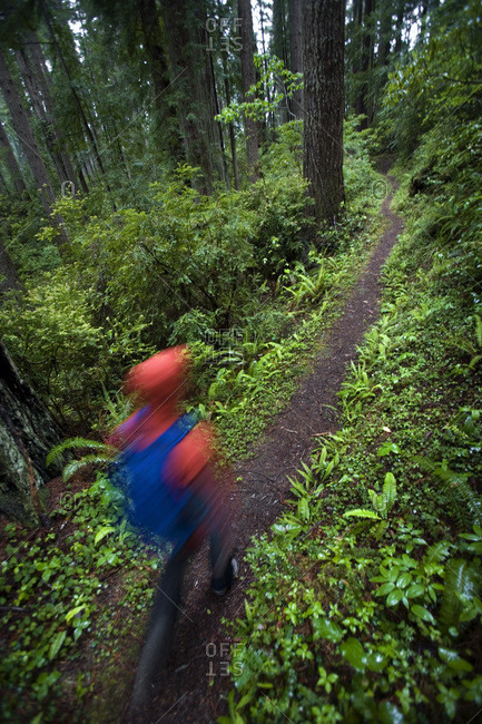 Person hiking the Lady Bird Johnson Grove Trail in Redwood National Park, California, USA