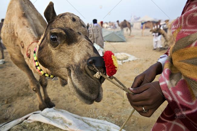 Camel at the Pushkar Camel Fair in Rajasthan, India