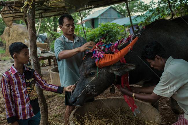 Vihear Suor, Kandal, Cambodia - October 4, 2013: Men preparing buffalo for festival in Cambodia