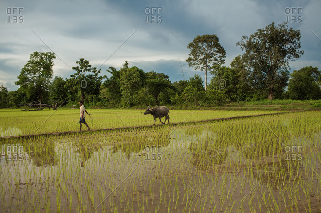 Don Det Island, Cambodia - August 5, 2013: Cambodian farmer and buffalo in rice paddy