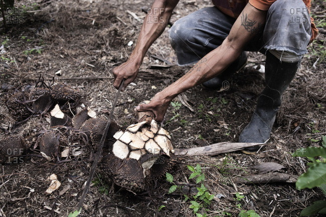 A peasant in a plantation of Tagua is cutting the mocochas for the vegetable ivory