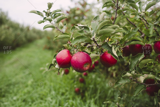 Apples on tree in orchard