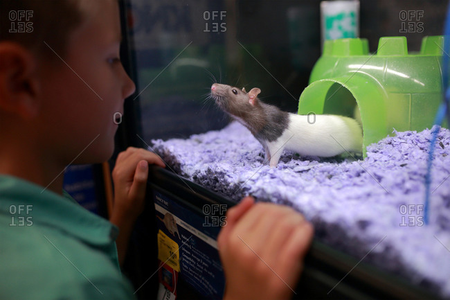 Boy looking at rat in pet shop