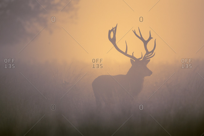 Silhouette of a wild stag at sunrise in a forest