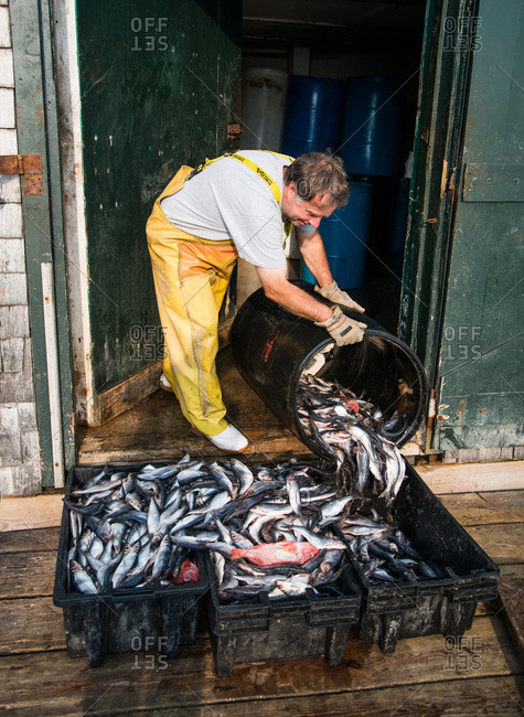 Maine, USA -  August 2013: Man transferring fish into boxes