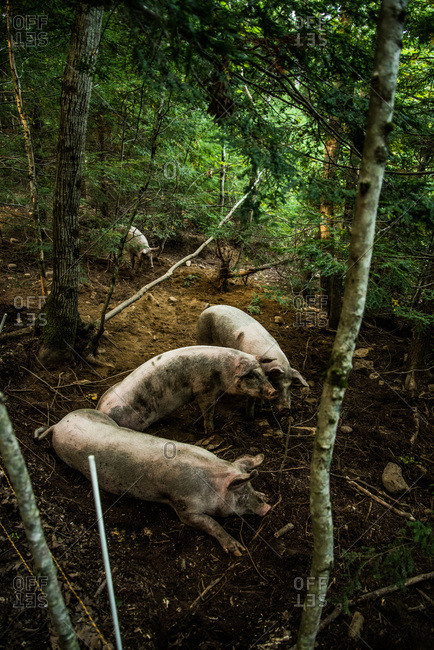 Pigs lying in the forest