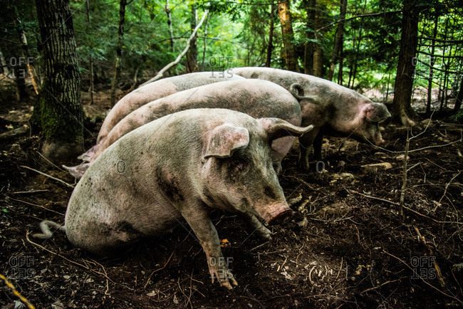 Pigs rooting in a forest