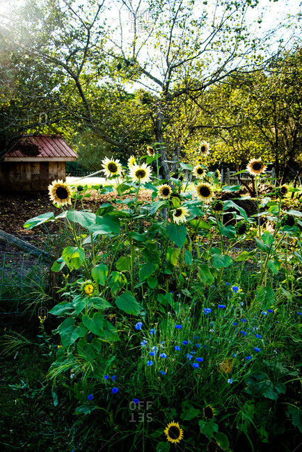Sunflowers growing in a garden
