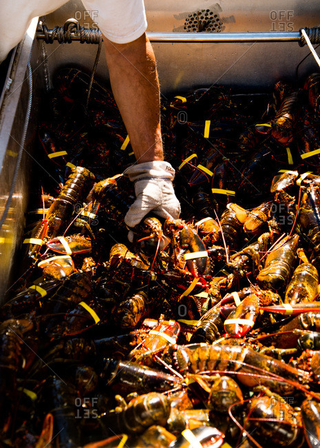 Man reaching into a crate full of fresh lobsters