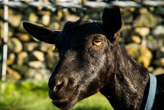 Close up of a black goat