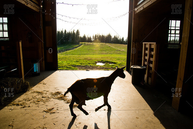 Silhouette of a goat in a barn