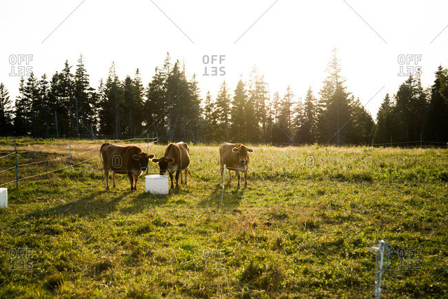 Cows feeding from a bucket in a farm