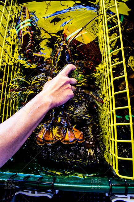 Person lifting a fresh lobster out of the water
