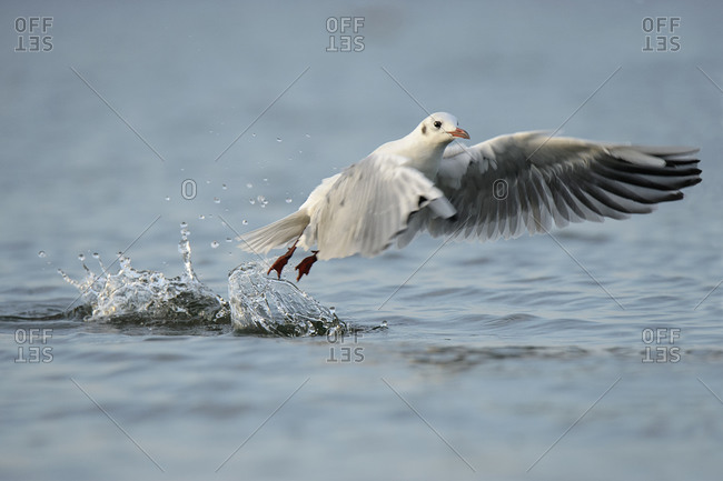 Seagull, Laridae, taking off water surface