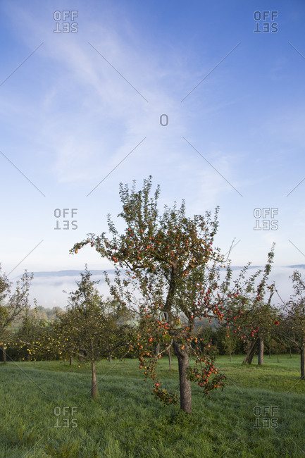 Neckar Valley, apple trees