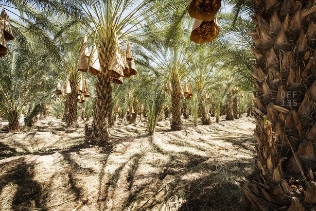 Date palm plantation - Offset Collection