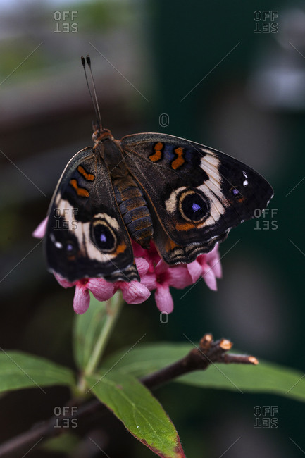 Butterfly resting on pink hydrangea