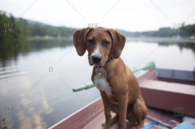 Hound dog puppy in canoe on lake