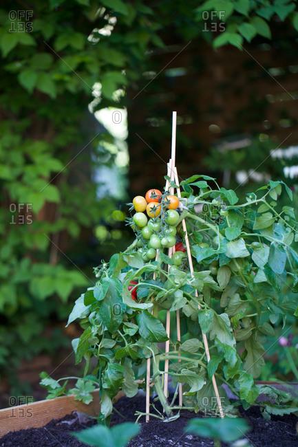 Fresh tomato plant at garden