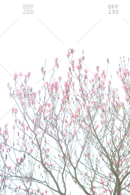 Flowering magnolia tree - Offset Collection