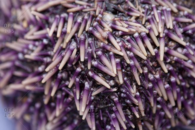Fresh purple sea urchin