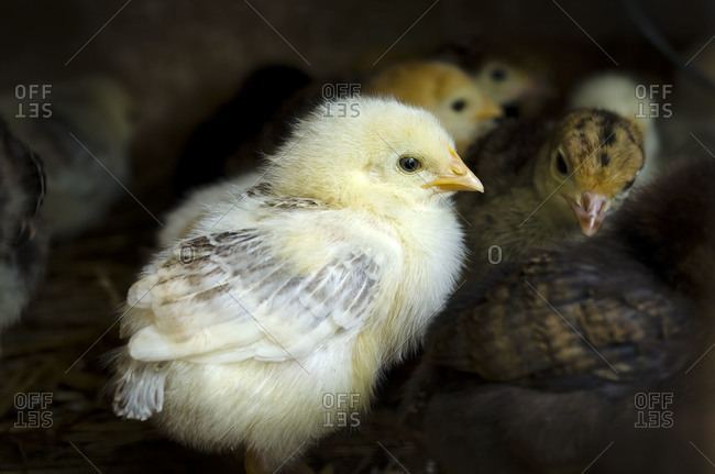 Close up of a newly hatched baby chicks at the farm