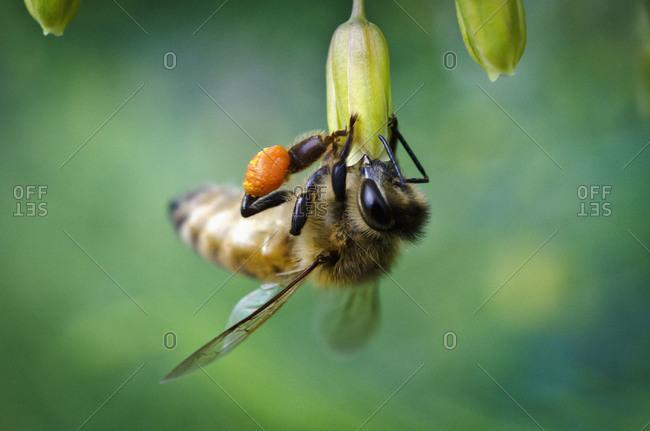Close up of busy honeybee gathering pollen
