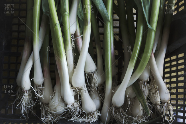 Basket of scallions at local farmers' market