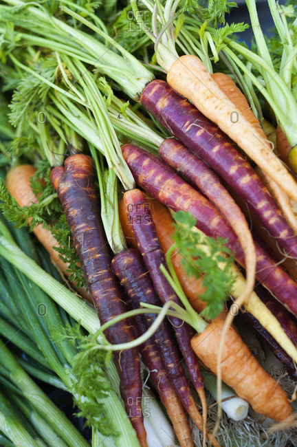 Brightly colored carrots in a bunch