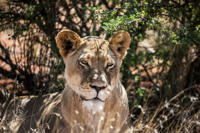 Lioness in the shade, South Africa