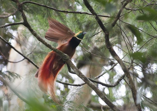 Raggiana Bird of Paradise bird at lek in Varirata National Park, Papua New Guinea