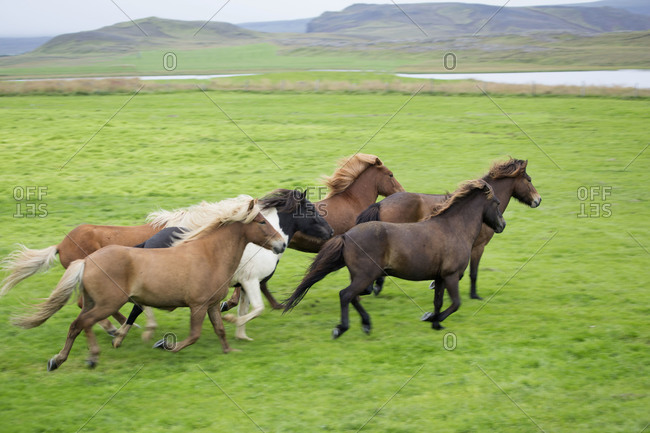 Wild ponies running in a group
