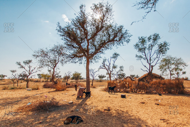 Scene of Rajasthani home with goats and dogs sleeping in the middle of a dry field