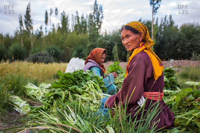 Thiksey, Ladakh, India - August 26, 2010: Ladies of Thiksey village harvesting their spinach crop for the season